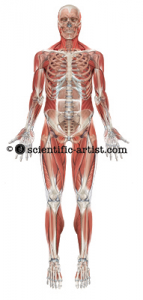 SKELETON-AND-MUSCLE-T